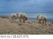 Купить «Icelandic horses, southern Iceland, February 2015», фото № 28621672, снято 16 августа 2018 г. (c) Nature Picture Library / Фотобанк Лори
