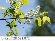 Купить «Цветущая черёмуха (лат. Prunus padus) на фоне голубого неба», фото № 28621872, снято 8 мая 2018 г. (c) Evgenia Shevardina / Фотобанк Лори