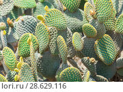 Купить «Prickly Pear Cactus at sunny summer day», фото № 28629116, снято 12 июня 2018 г. (c) EugeneSergeev / Фотобанк Лори