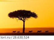 Купить «Common zebra (Equus quagga) group walking at sunrise through the savannah, Masai Mara National Reserve, Kenya.», фото № 28630524, снято 22 июля 2019 г. (c) Nature Picture Library / Фотобанк Лори