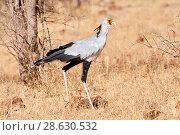 Secretary bird (Sagittarius serpentarius) walking in Samburu National Park. Kenya. Стоковое фото, фотограф Eric Baccega / Nature Picture Library / Фотобанк Лори