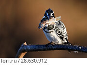 Купить «Pied kingfisher (Ceryle rudis) perched on a branch with fish prey. Baringo lake. Kenya.», фото № 28630912, снято 23 июля 2019 г. (c) Nature Picture Library / Фотобанк Лори