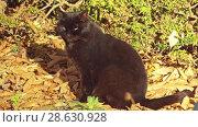 Купить «Black cat walks along fallen leaves», видеоролик № 28630928, снято 2 марта 2018 г. (c) BestPhotoStudio / Фотобанк Лори