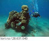 Купить «Дайвер и тропические рыбки плавают под водой рядом с коралловым рифом в Красном море», фото № 28631040, снято 15 сентября 2017 г. (c) Irina Opachevsky / Фотобанк Лори