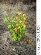 Купить «Молодой клен Гиннала в саду. Выращивание декоративных деревьев», фото № 28631324, снято 25 июня 2018 г. (c) Наталья Осипова / Фотобанк Лори