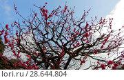 Купить «close up of beautiful sakura tree blossoms at park», видеоролик № 28644804, снято 18 июня 2018 г. (c) Syda Productions / Фотобанк Лори