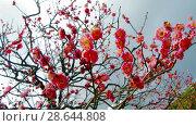 Купить «close up of beautiful sakura tree blossoms at park», видеоролик № 28644808, снято 18 июня 2018 г. (c) Syda Productions / Фотобанк Лори