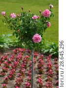 Купить «Штамбовая роза на клумбе», эксклюзивное фото № 28645296, снято 26 июня 2018 г. (c) Елена Коромыслова / Фотобанк Лори