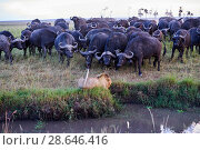 Купить «African lion (Panthera leo) male in front of charging Cape buffalo herd (Syncerus caffer caffer), Masai Mara National Reserve, Kenya. Sequence 6 of 13...», фото № 28646416, снято 23 июля 2018 г. (c) Nature Picture Library / Фотобанк Лори