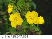 Купить «Энотера кустарниковая (лат. Oenothera fruticosa)», фото № 28647664, снято 24 июня 2013 г. (c) Зобков Георгий / Фотобанк Лори