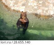 Купить «Бурый медведь отдыхает в бассейне открытого вольера. Зоопарк. Город Москва», эксклюзивное фото № 28655140, снято 7 мая 2016 г. (c) lana1501 / Фотобанк Лори
