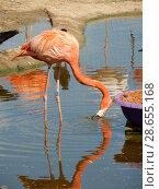 Купить «Розовый фламинго с опущенной головой в Московском зоопарке», эксклюзивное фото № 28655168, снято 7 мая 2016 г. (c) lana1501 / Фотобанк Лори