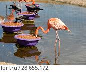 Купить «Розовые фламинго обедают. Московский зоопарк», эксклюзивное фото № 28655172, снято 7 мая 2016 г. (c) lana1501 / Фотобанк Лори
