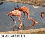Купить «Розовые и красные фламинго с опущенными головами. Московский зоопарк», эксклюзивное фото № 28655176, снято 7 мая 2016 г. (c) lana1501 / Фотобанк Лори