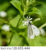 Купить «Бабочка белая сидит на цветке», эксклюзивное фото № 28655444, снято 24 мая 2018 г. (c) Игорь Низов / Фотобанк Лори