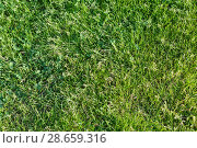 Купить «Background from a fresh juicy bright green grass», фото № 28659316, снято 24 июня 2018 г. (c) Anatoly Timofeev / Фотобанк Лори