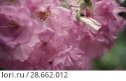 Купить «Flowering bushes in the rose garden, Botanical garden», видеоролик № 28662012, снято 7 июня 2018 г. (c) Ирина Мойсеева / Фотобанк Лори