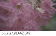 Купить «Flowering bushes in the rose garden, Botanical garden near greenhouse», видеоролик № 28662048, снято 7 июня 2018 г. (c) Ирина Мойсеева / Фотобанк Лори