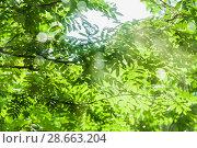 Купить «Рябина после дождя в лучах солнца», фото № 28663204, снято 23 июня 2018 г. (c) Алёшина Оксана / Фотобанк Лори