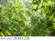 Купить «Деревья на свете солнца во время проливного дождя», фото № 28663236, снято 23 июня 2018 г. (c) Алёшина Оксана / Фотобанк Лори