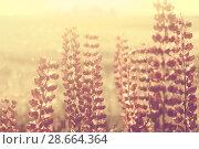 Купить «Цветущий люпин», фото № 28664364, снято 17 июня 2018 г. (c) Икан Леонид / Фотобанк Лори