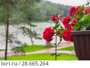 Купить «red geranium in pots on background lakes», фото № 28665264, снято 20 июня 2017 г. (c) Майя Крученкова / Фотобанк Лори