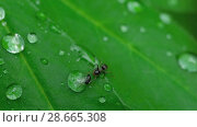 Купить «Close-up ant and aphid», видеоролик № 28665308, снято 18 июня 2018 г. (c) Игорь Жоров / Фотобанк Лори
