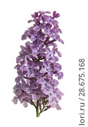 Купить «Single gentle branch of blossoming lilac close up isolated on white», фото № 28675168, снято 9 мая 2018 г. (c) Сергей Молодиков / Фотобанк Лори