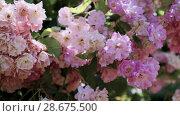 Купить «Flowering bushes in the rose garden, Botanical garden near greenhouse», видеоролик № 28675500, снято 7 июня 2018 г. (c) Ирина Мойсеева / Фотобанк Лори