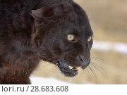 Black panther / melanistic Leopard (Panthera pardus) portrait. captive. Стоковое фото, фотограф Dave Watts / Nature Picture Library / Фотобанк Лори