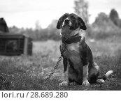 Купить «Dog on a chain in the village yard», фото № 28689280, снято 20 июля 2018 г. (c) Ирина Козорог / Фотобанк Лори