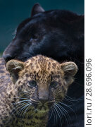 Купить «Black panther / melanistic Leopard (Panthera pardus) female with normal spotted cub, captive.», фото № 28696096, снято 18 сентября 2018 г. (c) Nature Picture Library / Фотобанк Лори