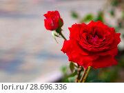 Купить «Beautiful red rose in the garden», фото № 28696336, снято 23 июня 2018 г. (c) Елена Блохина / Фотобанк Лори