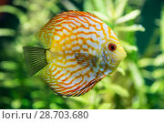 Купить «An aquarium with brightly colored fish discus symphysodon», фото № 28703680, снято 31 мая 2018 г. (c) Наталья Волкова / Фотобанк Лори