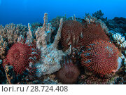 Купить «Crown-of-thorns starfish (Acanthaster planci) on the reef, Mozambique.», фото № 28724408, снято 15 августа 2018 г. (c) Nature Picture Library / Фотобанк Лори