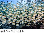 Купить «Convict surgeonfish (Acanthurus triostegus) Gafu atoll, Indian Ocean, Maldives.», фото № 28724416, снято 15 августа 2018 г. (c) Nature Picture Library / Фотобанк Лори