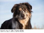 Купить «Australian shepherd dog on beach, Connecticut, USA.», фото № 28724436, снято 18 апреля 2019 г. (c) Nature Picture Library / Фотобанк Лори