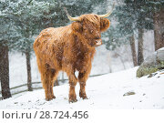 Highland cow in snow storm, Madison, Connecticut, USA. Стоковое фото, фотограф Lynn M. Stone / Nature Picture Library / Фотобанк Лори