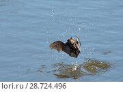 Купить «Daubenton's bat (Myotis daubentonii) migrant hunting in daylight for insects on water surface of a tidal creek, Matsalu Bay, Haeska, Estonia, September.», фото № 28724496, снято 15 августа 2018 г. (c) Nature Picture Library / Фотобанк Лори