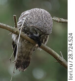 Купить «Great grey owl (Strix nebulosa), with prey,  European mole Talpa europaea), Finland, September», фото № 28724524, снято 25 сентября 2018 г. (c) Nature Picture Library / Фотобанк Лори