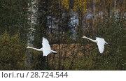 Купить «Whooper swan (Cygnus cygnus), adults in flight, Finland, October.», фото № 28724544, снято 20 сентября 2018 г. (c) Nature Picture Library / Фотобанк Лори
