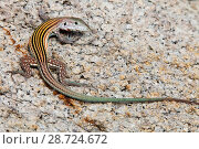 Купить «Blackbelly racerunner lizard (Aspidoscelis deppei), Playa Morro Ayuta, Oaxaca state, southern Mexico, August», фото № 28724672, снято 23 июля 2018 г. (c) Nature Picture Library / Фотобанк Лори