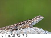 Купить «Smith's rosebelly lizard (Sceloporus smithi), Playa Morro Ayuta, Oaxaca state, southern Mexico, August», фото № 28724716, снято 23 июля 2018 г. (c) Nature Picture Library / Фотобанк Лори