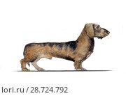 Купить «Карликовая такса нарисованная акварелью в профиль», иллюстрация № 28724792 (c) Elizaveta Kharicheva / Фотобанк Лори