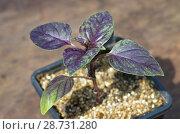 Молодой фиолетовый базилик в пластиковом стаканчике крупным планом. Стоковое фото, фотограф Елена Коромыслова / Фотобанк Лори
