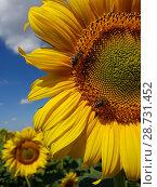 Купить «Large flower of sunflower with bees», фото № 28731452, снято 10 июля 2018 г. (c) Володина Ольга / Фотобанк Лори