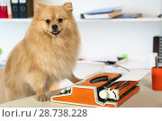 Купить «Purebred Pomeranian dog typing on a vintage typewriter», фото № 28738228, снято 26 июня 2018 г. (c) Алексей Кузнецов / Фотобанк Лори
