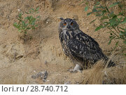 Купить «Eurasian Eagle Owl ( Bubo bubo ), sitting, resting under a bush in the slope of a sand pit, looks directly towards the photographer, wildlife, Europe.», фото № 28740712, снято 21 июля 2017 г. (c) age Fotostock / Фотобанк Лори