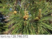 Купить «Весна. Цветок сосны и зеленые шишки», фото № 28746072, снято 30 апреля 2018 г. (c) ok_fotoday / Фотобанк Лори
