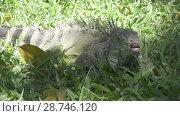 Купить «Big green iguana on a green grass», видеоролик № 28746120, снято 4 июля 2008 г. (c) Куликов Константин / Фотобанк Лори